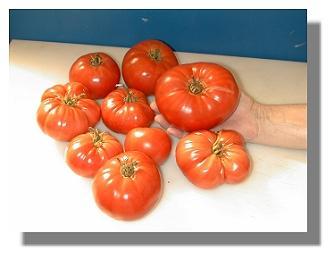 Beefsteak Tomato harvest.
