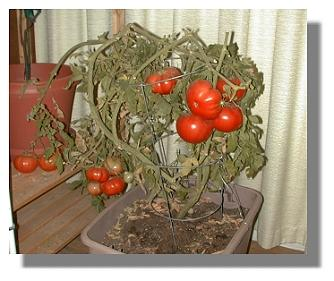 Beefsteak Pruned And Inside In December Tomato Plant
