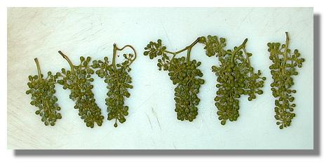 Chardonnay fruiting bodies collected 7-17-99.