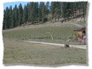 600 BioVam Grown Leon Millot at Chinabend Vineyards.