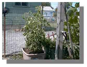 Tomato plant.