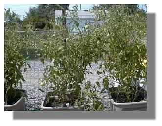 Better Boy Tomato plant.