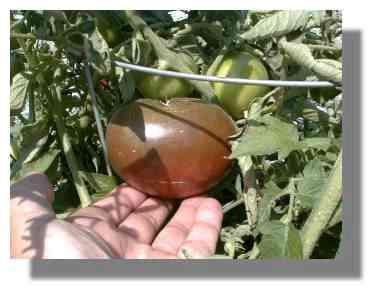 Black Krim Tomato.