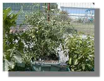 Black Krim Tomato plant.