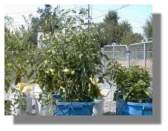 Celebrity Tomato plant.