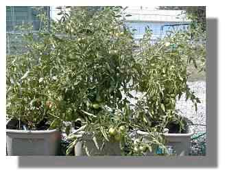 Early Girl Tomato Plant.