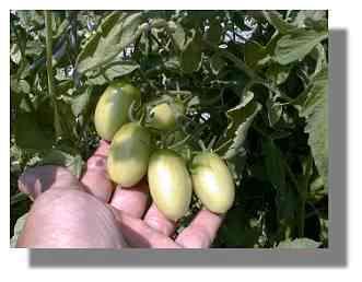 Grape Tomato Plant.