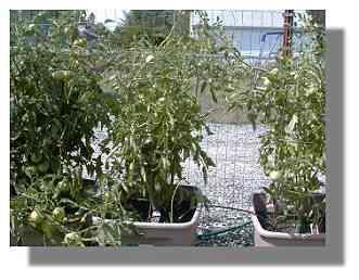 Super Fantastic Tomato plant.