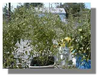 Sweet 100 Tomato plant.