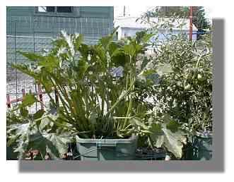 Zucchini Plant.