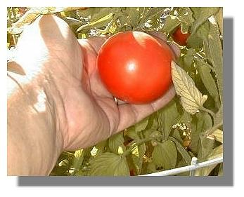 Early Girl Tomato example.