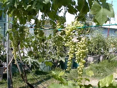 Himrod grapes.