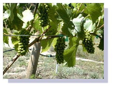 2nd Year Grape Production.