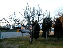 Lodi Apple tree on 12-05-98.