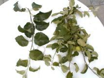 Lodi treated and untreated leaves 06-29-99