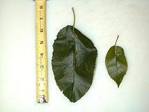 Lodi Apple Tree leaves 06-29-99