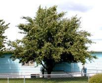 Untreated Lodi Apple Tree 06-29-99