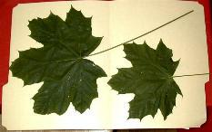 Maple Leaves Treated and Untreated