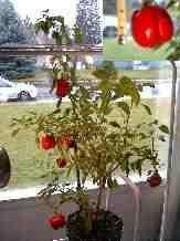 Pepper_11-20-98_01th.JPG (13606 bytes)