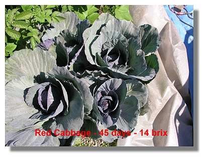 High Brix Red Cabbage in 30 days.