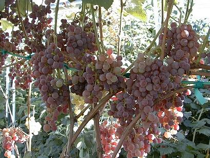 Reliance is one of the best tasting, red seedless grapes.