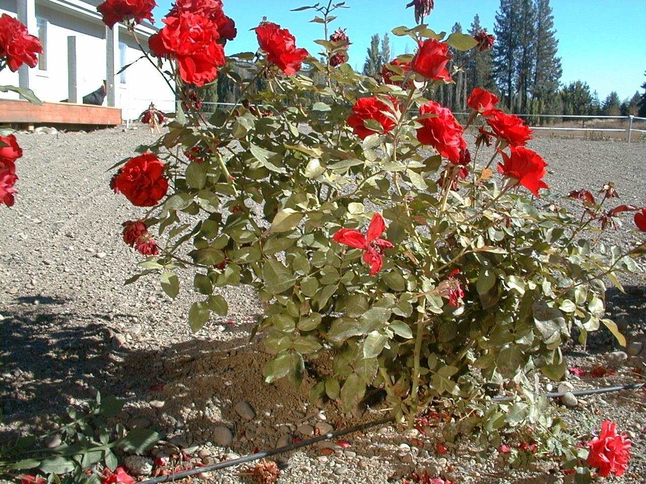Biovam treated rose hedge - When to plant roses ...