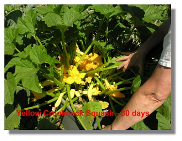 High Brix Yellow Crook Neck Squash.