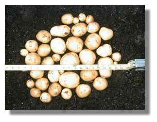 Yukon Gold Potato harvest from one 18 gallon container.