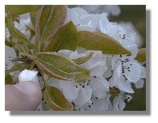 Frost on leaves and blossoms.