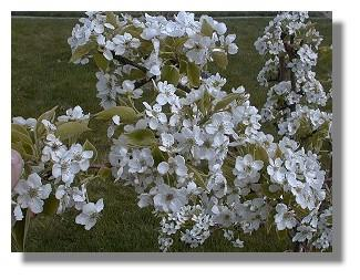Blossoms are in good condition and a lot of fruit set.