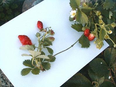 strawberry_9-29-98_01.JPG (24483 bytes)