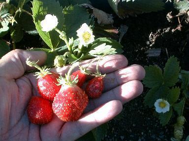 strawberry_9-4-98_01.JPG (27145 bytes)