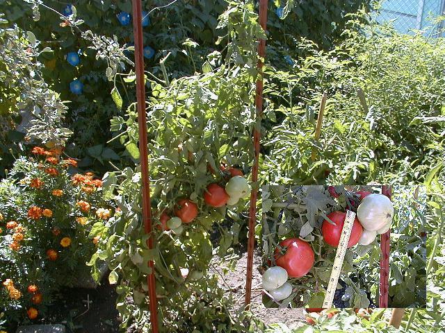 Tomato 9 12 98 02th Jpg 24185 Bytes